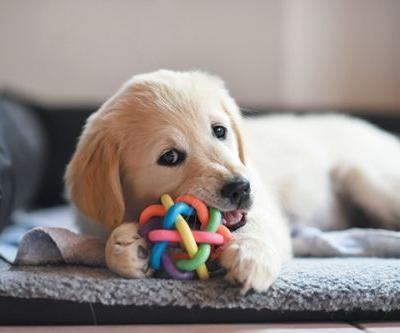 Getting a Puppy to Pass the Canine Good Citizen Test
