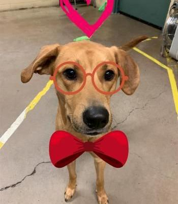 """CUPID"" pretty tan american shelter dog mix"