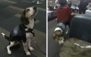 Former Stray Breaks Record For Sniffing Out Airport Contraband