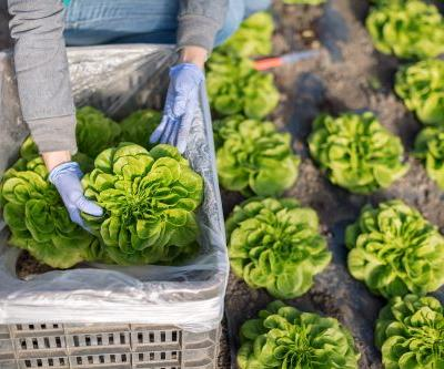 CDC warns people to avoid 'all types of romaine lettuce' amid E. coli outbreak