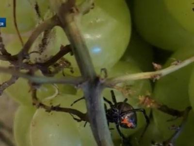 Woman finds black widow spider in organic grapes