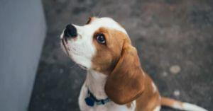 Stunning Snouts: Study Finds Dogs Can Detect Lung Cancer with 97% Accuracy