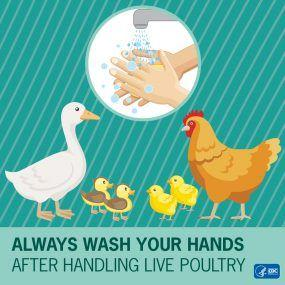 Almost 100 sick in Salmonella outbreak linked to backyard poultry flocks