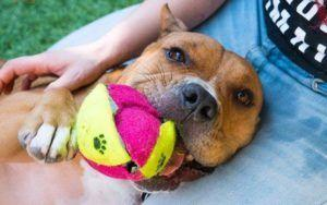 Lovable Pocket Pitty Has Been Waiting Nearly 1000 Days For A Home