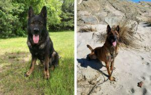 Two Soon-To-Be Retired Police Dogs Are Looking For Forever Homes