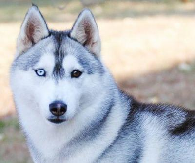 Dogs With Blue Eyes? Meet These 6 Dog Breeds