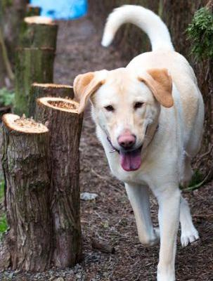 """""""CLARENCE"""" Big Blond Lab mix, a bit of a Softie"""