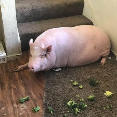Abandoned pig found in apartment