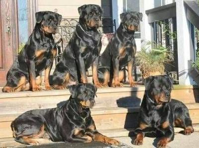 10 Translated Rottweiler Barks: What Your Rottweiler Is Saying
