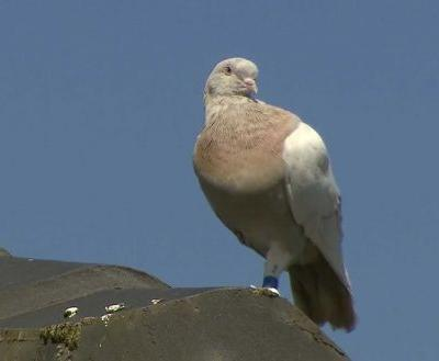 Australia to kill pigeon that crossed Pacific from Oregon