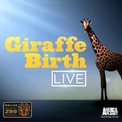 We're expecting.a baby giraffe, that is!