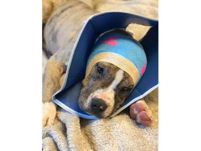 Someone cut off the ears of a 10-week-old puppy, officials say