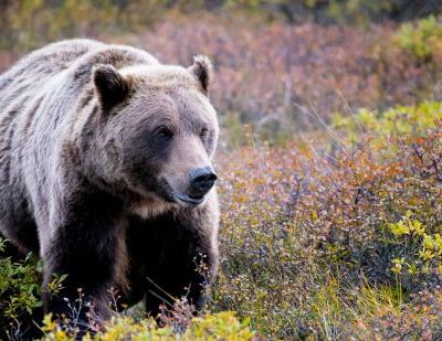 Grizzly attacks hunter in mountains north of Yellowstone