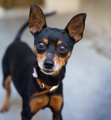 """JUMPING JACK"" lively little Minpin mix"