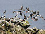 The darling puffins of May! Exploring one of the largest UK seabird colonies in the Scottish Isles