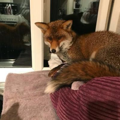 Cat Is Not Pleased To Find Fox Broke In And Stole His Bed