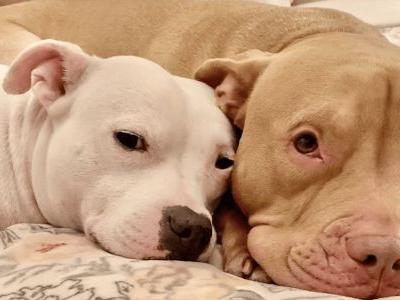 More Colorado Cities Lift Pit Bull Bans Following Denver's Decision