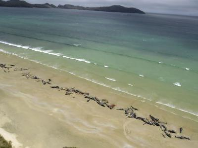 'A really sad event': 145 pilot whales die in stranding on beach