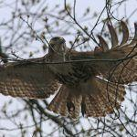 Red-tailed Hawk Hunting a Gray Squirrel