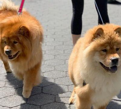 Chow Chow Breed Information Guide: Quirks, Pictures, Personality & Facts