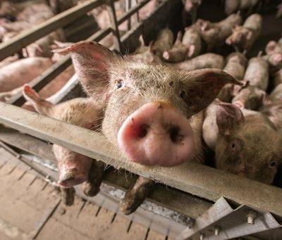 Stopping Cruel High-Speed Pig Slaughter