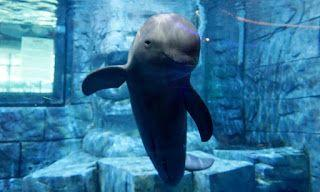 China introduces comprehensive measures to save the Yangtze Finless Porpoise