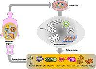 The potential of nanoparticles in stem cell differentiation and further therapeutic applications