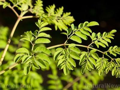 Moringa oleifera lam. leaf powder can help HIV patients stay healthy during antiretroviral therapy