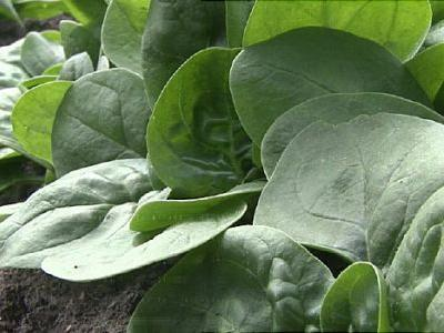 Sprouts Recalls Frozen Spinach for Listeria Fears
