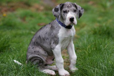 How To Teach Your Great Dane To Stay