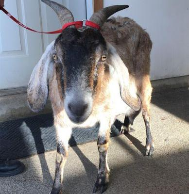 """""""KAISER"""" sweetie Anglo- Nubian female GOAT In FOSTER Home"""