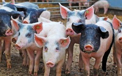 OMB approves HIMP swine slaughter rule; industry pleased