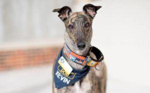 Therapy Dog Kevin The Greyt Proves Everyone Should Adopt A Retired Greyhound