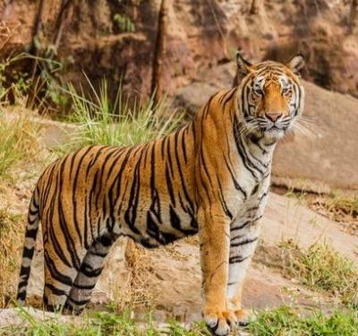 Odisha: Similipal tiger reserve loses 75 tigers in 12 years