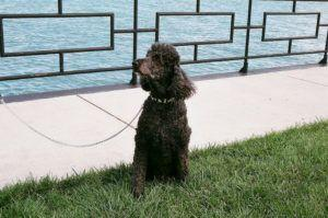 3 Basic Behaviors You Must Teach Your Poodle