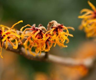 The Benefits of Witch Hazel Are Nothing Short of Magic