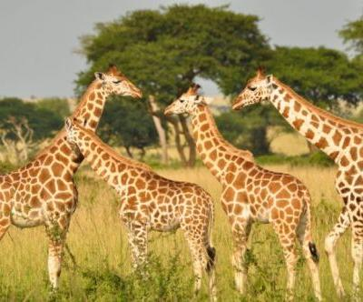 Going Quietly into the Night: The Unseen Plight of Africa's Giraffes