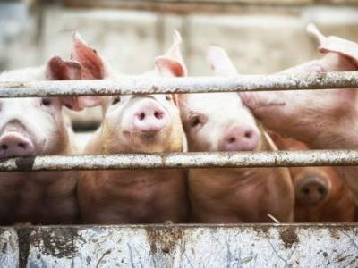 Pig Brain Partially Revived By Scientists Four Hours After Animal's Death