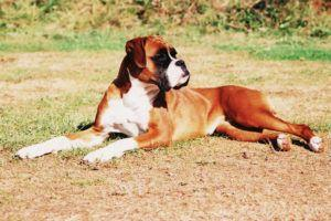 Giving This To Your Boxer Daily Could Help Alleviate Painful Skin Allergies