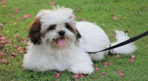 Improve Your Lhasa Apso's Skin & Coat With This One Simple Hack