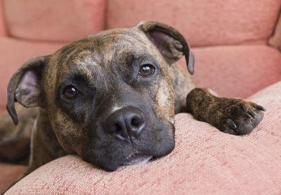 Quebec Court of Appeal Overturns Suspension of Montreal Pit Bull Ban
