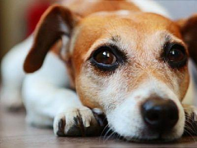 Did 'Puppy Dog Eyes' Evolve to Please Humans?