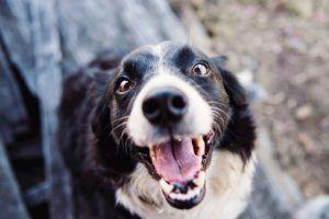 Simple Ways to Improve Your Dog's Dental Health