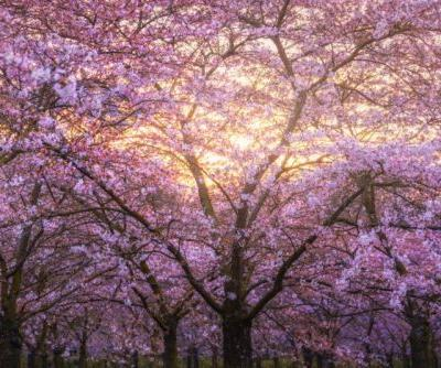 I Photographed Cherry Blossoms. in Amsterdam