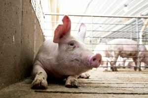 Pork industry soon will have more power over meat inspections