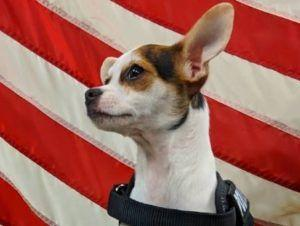 Tiny Chihuahua K9 Joins Ohio Police Force