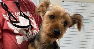 Person Steals Yorkie Puppy, Then Throws Him Into Puddle