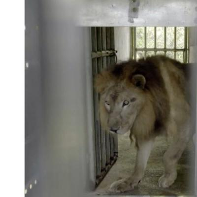 Keenesburg's Wild Animal Sanctuary takes in lion, tiger from Saipan zoo after typhoon