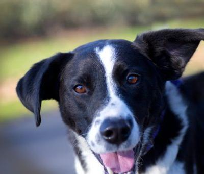 """JACKSON"" border collie mix"