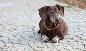 3 Amazing Ways To Honor A Dachshund Who Passed Away